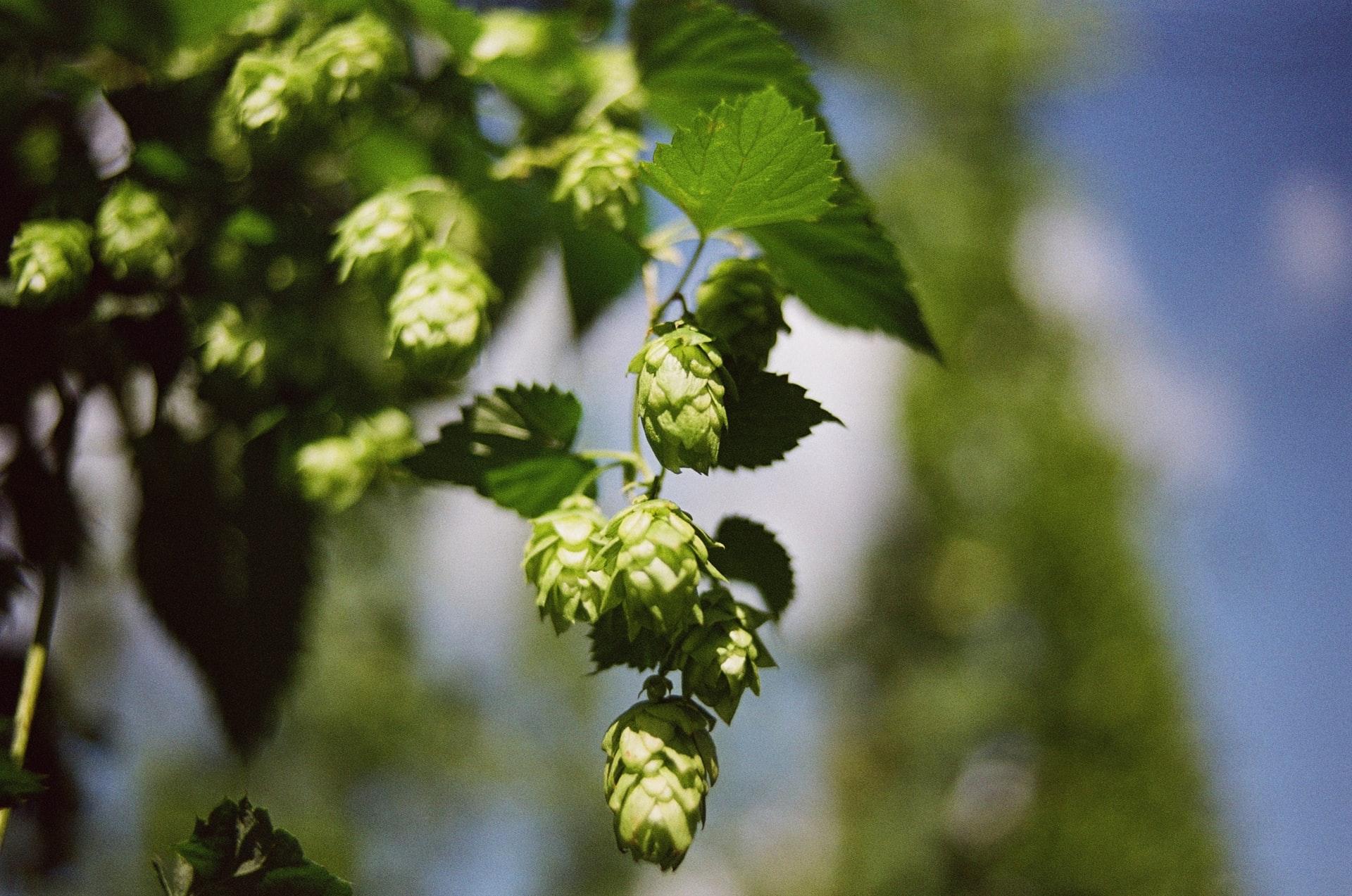 Hops Moonwake Beer Pale Ale IPA